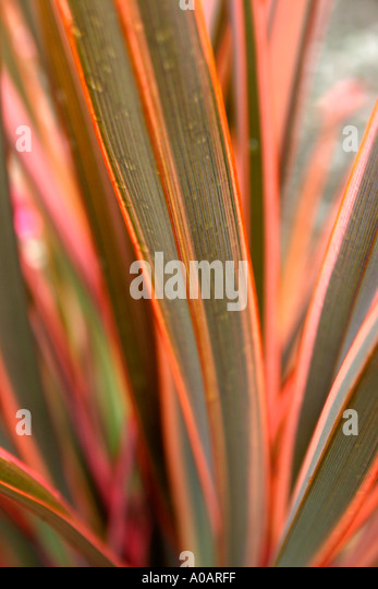 red and pink variegated leaves of garden plant phormium rainbow queen stock photo royalty free. Black Bedroom Furniture Sets. Home Design Ideas