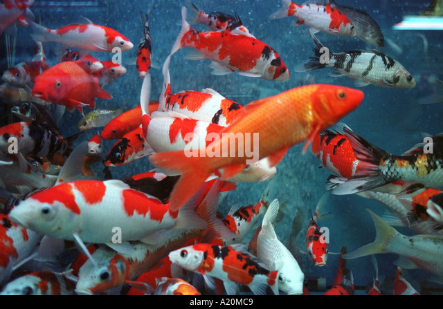 Koi carp fish charms of financial prosperity for sale in for Carp in a fish tank