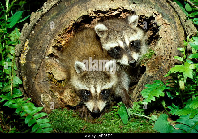 Two young raccoon pups procyon lotor look out of hollow log with stock photo royalty free How to keep raccoons out of garden