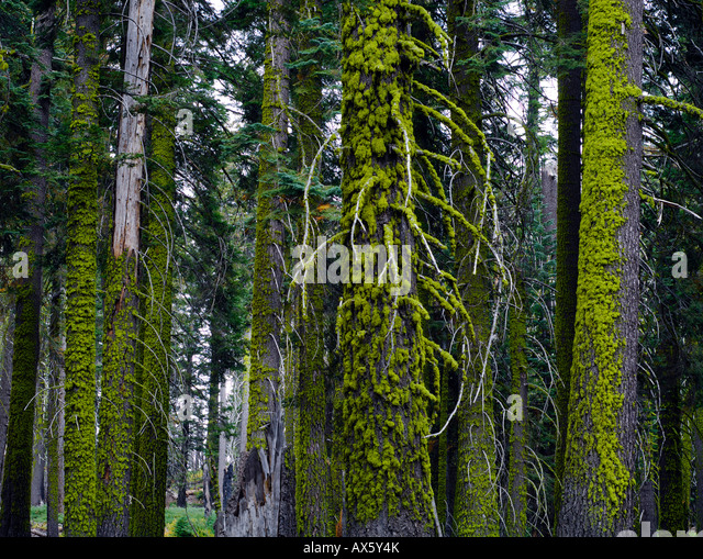 what is a tree trunk covered with 4 letters - moss covered spruce tree trunks sequoia national park