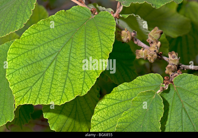 Witch Hazel (Hamamelis virginiana). Twig with green leaf and fruit Stock Photo ...