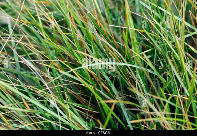 Sesleria heufleriana blue green moor grass grasses for Green ornamental grass