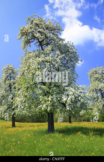 Common pear pear tree pyrus communis pyrus domestica for Domestica in svizzera