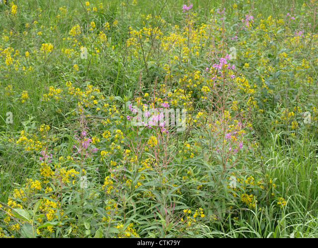 wildflower meadow in highmoor with fireweed and garden. Black Bedroom Furniture Sets. Home Design Ideas