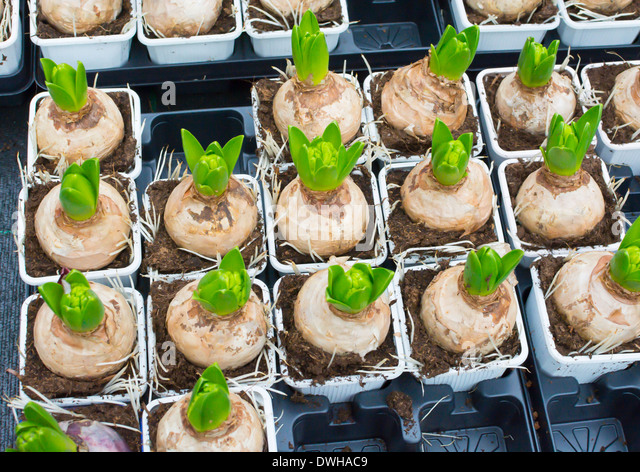 Hyacinth Bulbs For Christmas In Plastic Pots In A Flower