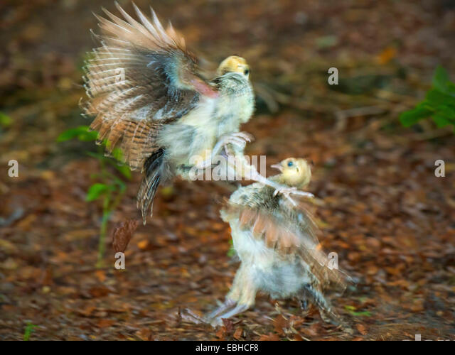 Common Peafowl, Indian Peafowl, Blue Peafowl (pavo ...
