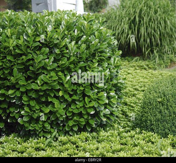 cherry laurel prunus laurocerasus 39 rotundifolia 39 prunus stock photo royalty free image. Black Bedroom Furniture Sets. Home Design Ideas