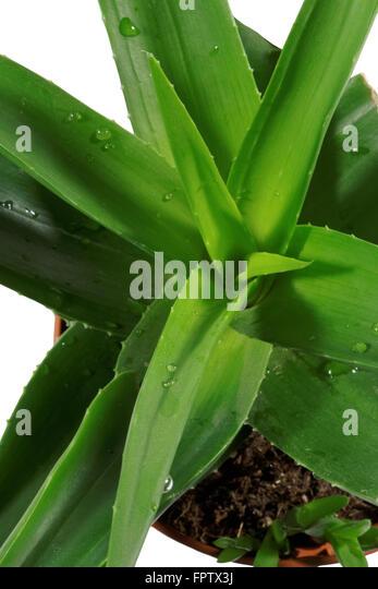 aloe vera plant isolated on white background stock photo royalty free image 100121606 alamy. Black Bedroom Furniture Sets. Home Design Ideas